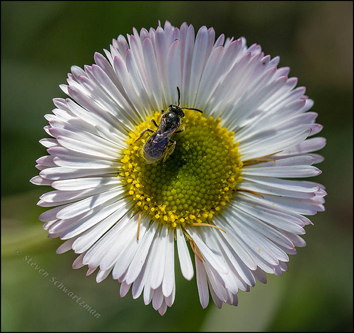 Tiny Bee on Prairie Fleabane Daisy 3270