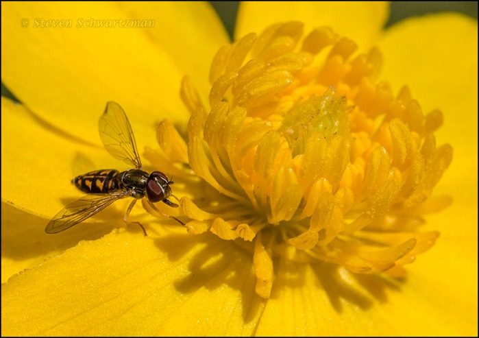 Tiny Syrphid Fly on Buttercup 3680