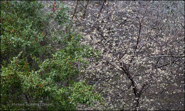 Yaupon with Fruit by Blossoming Plum Tree 2966