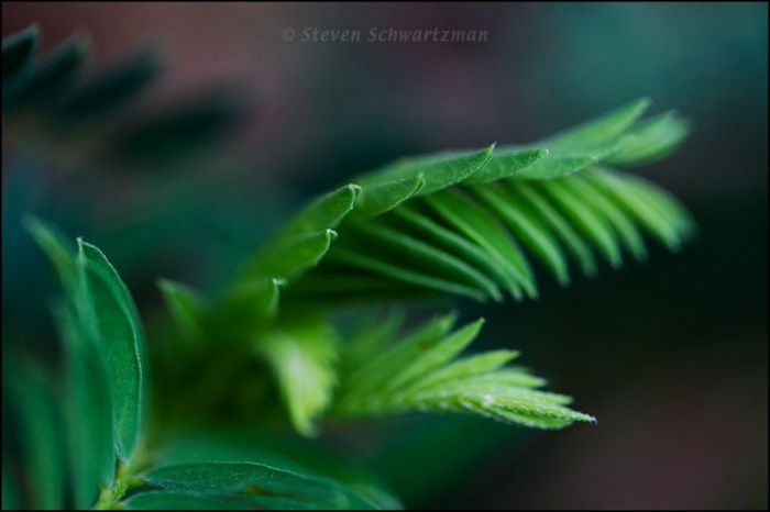 Astagalus crassicarpa Leaves 6838