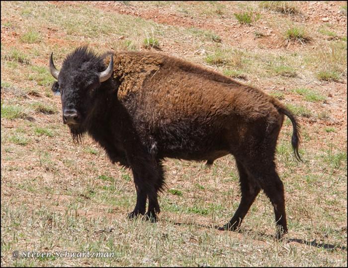 Bison 1234