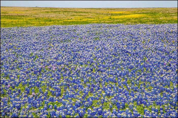 Bluebonnet Colony by Butterweed Colony 7908