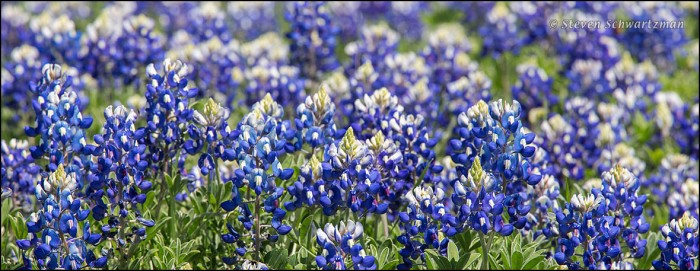Bluebonnet Colony Flowering 5878