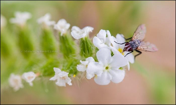 Fly on Cryptantha crassisepala Flowers 9241