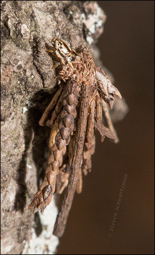 Insect Camouflaged with Twigs 6767