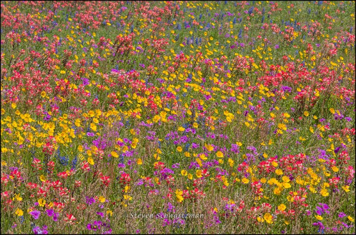 Nueces Coreopsis and Other Wildflowers 7789
