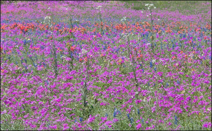 Old Plainsman, Phlox, and Other Wildflowers 7832