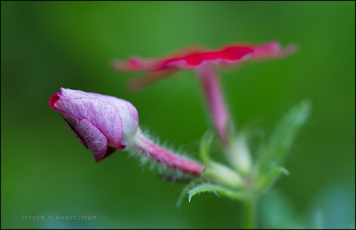 Red Phlox Bud 4729