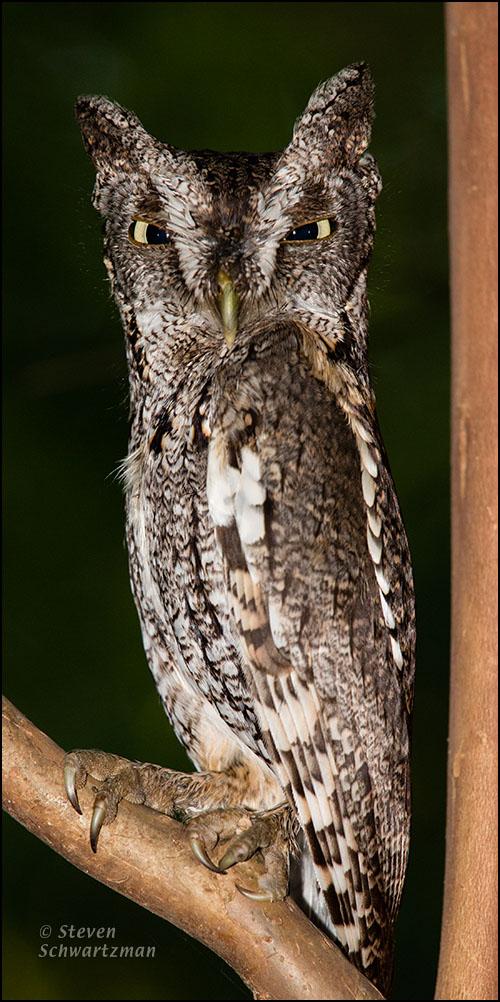 Eastern Screech-Owl 4419