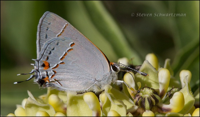 Gray Hairstreak Butterfly on Antelope-Horns Milkweed Flowers 3288