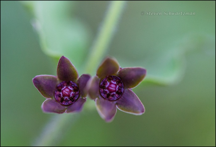 Matelea cynanchoides Flowers 1581