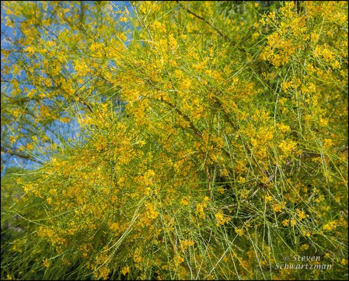 Paloverde Tree Flowering 7251