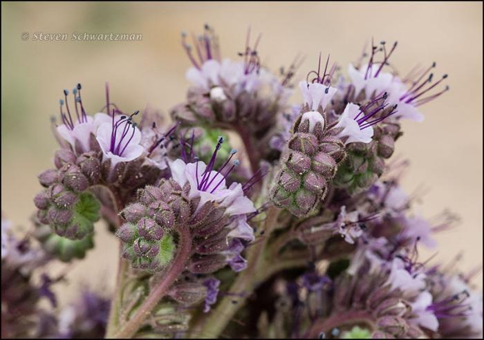 Phacelia integrifolia Flowers 9278