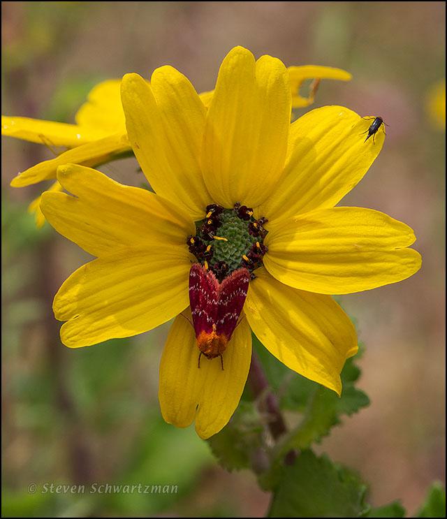 Reddish-Orange Moth on Greeneyes Flower Head 1869