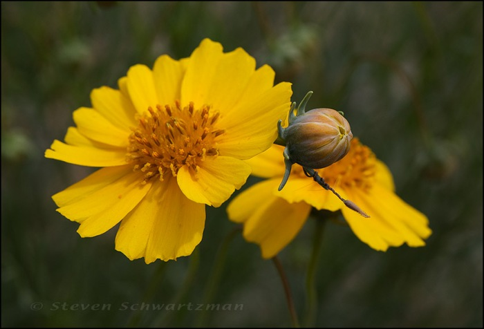 Thelesperma filifolium var. intermedium with Twining Interloper 9988