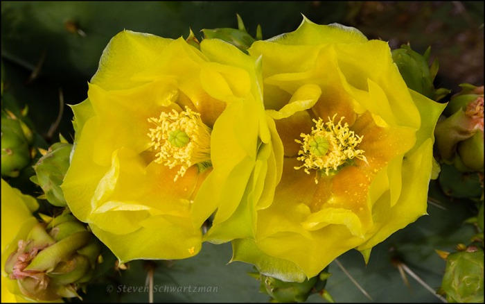 Two Prickly Pear Cactus Flowers 3834