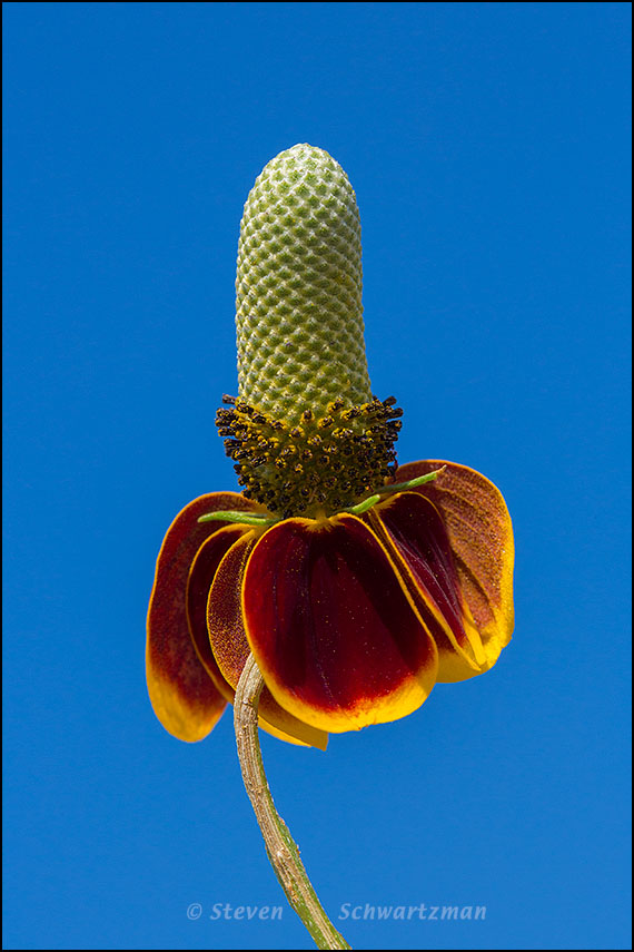 Mexican Hat Flower Head Against Sky 6057