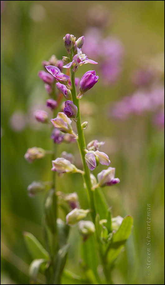 Pink Milkwort Flowering 2080