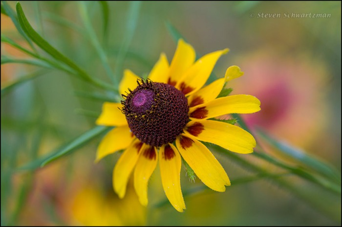 Brown-Eyed Susan Flower Head 4330