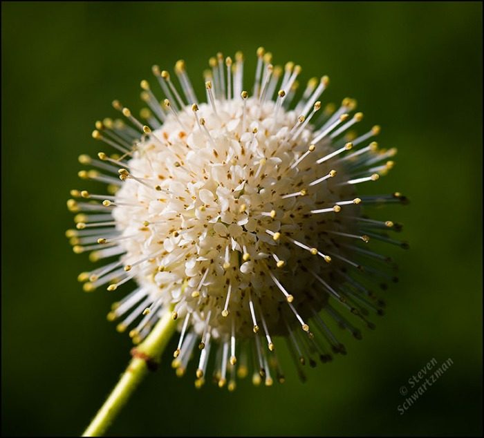 Buttonbush Flower Globe 6174