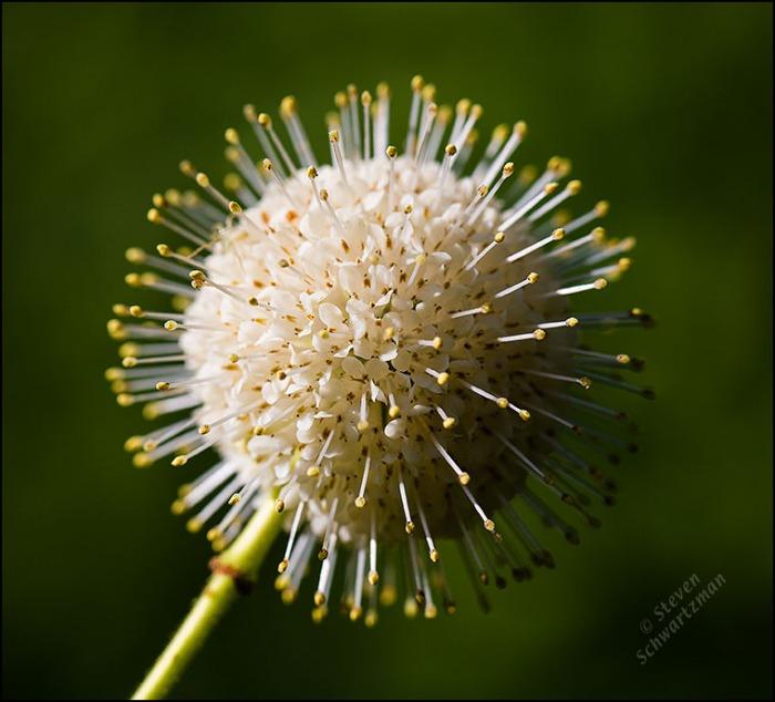 Buttonbush Flower Globe 6174