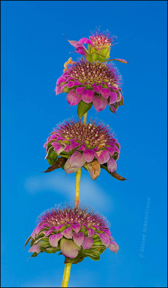 Horsemint Flower Tiers 5958