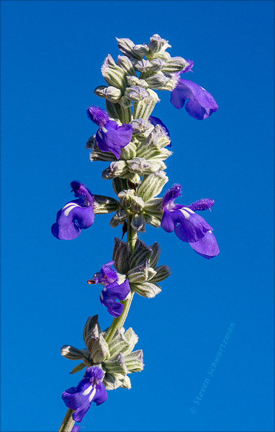 Mealy Blue Sage Flowers Against Sky 2368