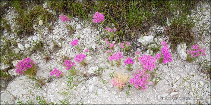 Mountain Pinks Flowering in Caliche 4730