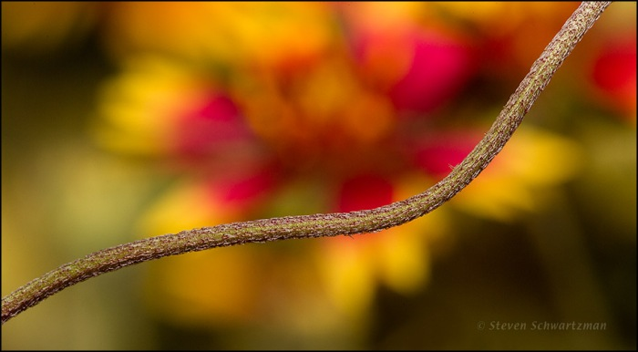Sinuous Firewheel Flower Stalk by Flower Head 4262