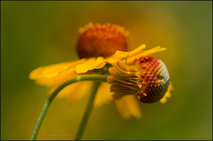 Sneezeweed Flower Head in Front of Another 3841