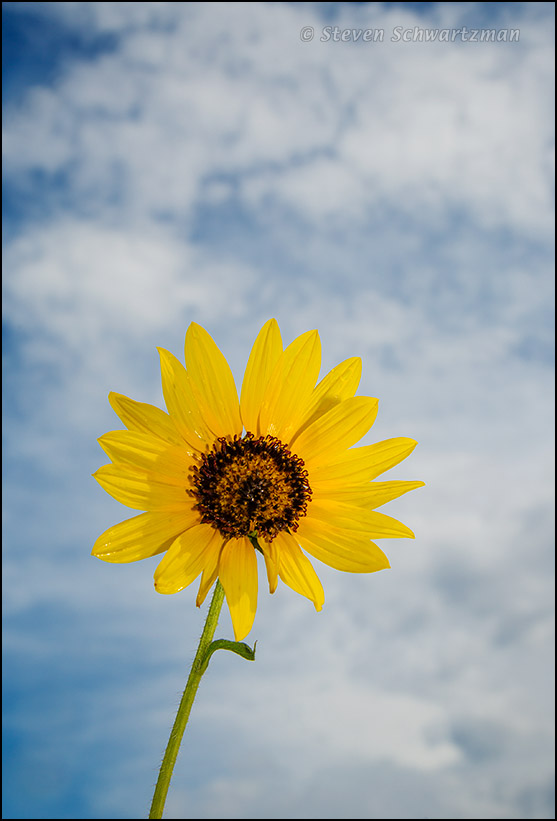 Sunflower with Clouds 5889