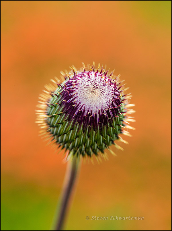 Texas Thistle Bud About to Open by Indian Paintbrushes 2160