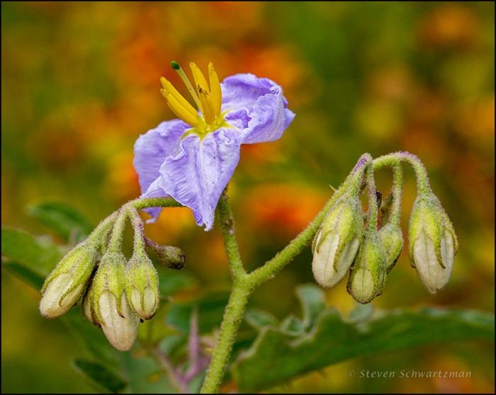 Western Horse-Nettle Flowering by Firewheels 4197