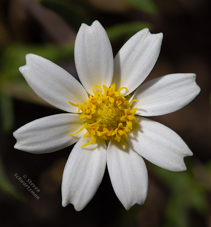 Blackfoot Daisy Flower Head 1202