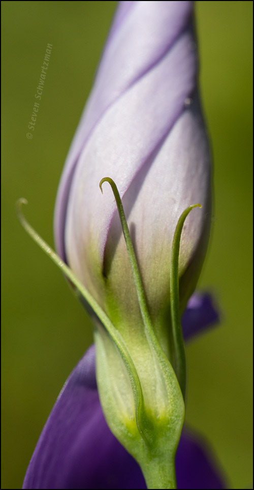 Bluebell Bud 9980A
