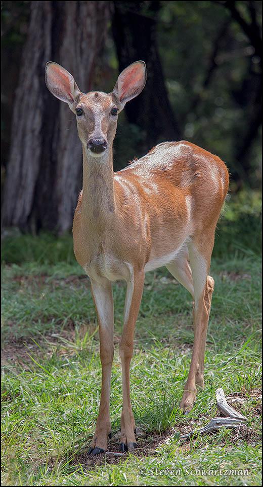 Deer Staring 9521