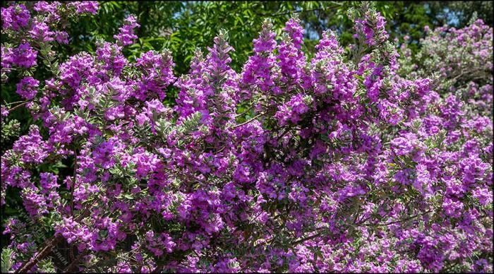 Dense Cenizo Flowers 0581