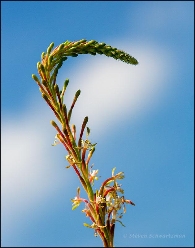 Downy Gaura Flowers and Buds 1806