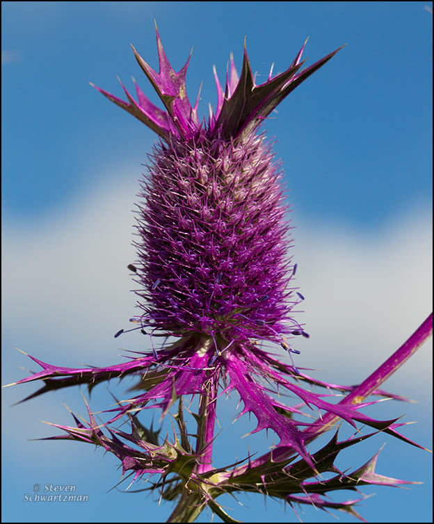 Eryngo Flower Head 5242