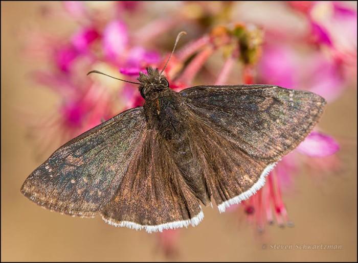 Male Horace's Duskywing Butterfly on Mexican Buckeye 5527