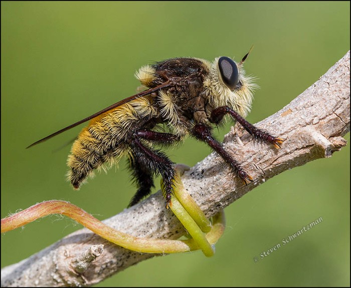 Mallophora fautrix Robber Fly on Stalk 0804