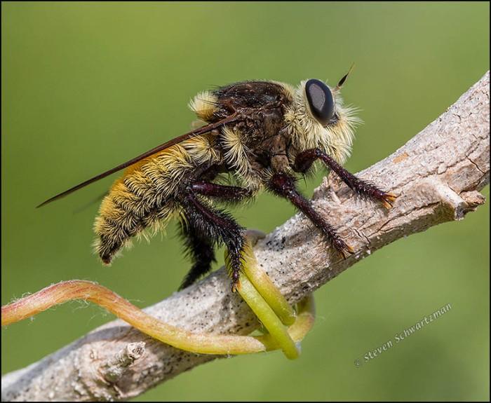 Mallophora fautrix Robber Fly on Stalk 0804