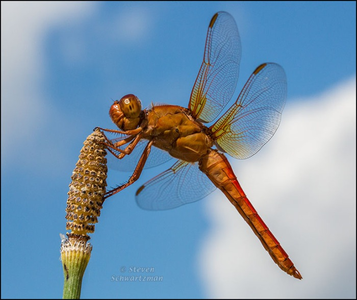 Neon Skimmer on Horsetail 7239