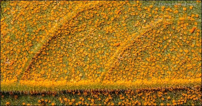 Orange Under Silphium radula Leaf 6199