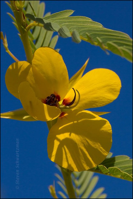 Partridge Pea Flower 2122