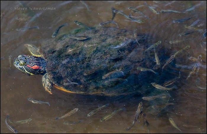 Red-Eared Slider with Fish Fry 0766