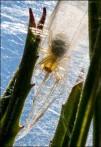 Spider in Web on Square-Bud Primrose Plant 2268 Detail