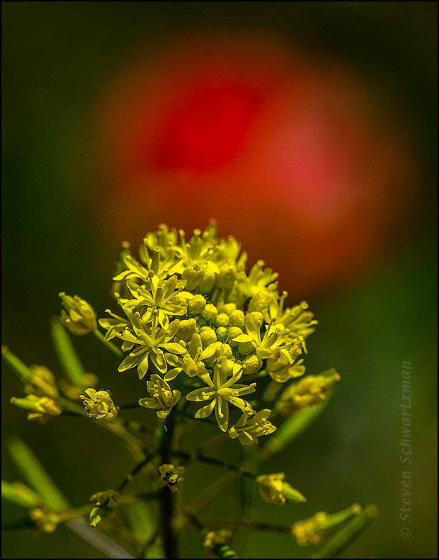 Tansy-Mustard Flowering by Indian Paintbrush 4478