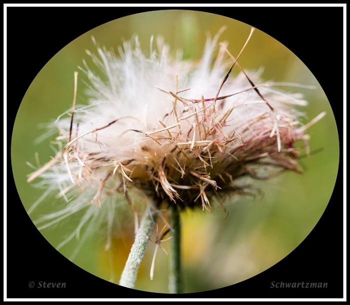 Texas Thistle Flower Head Decomposing 5161