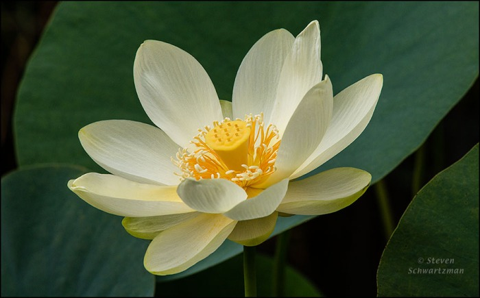 Yellow Lotus Flower 6967